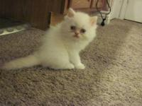 I have 1 male Flame point Himalayan Persian. Mom is a