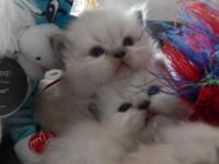 I have a litter of cfa registered persians. They are