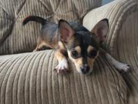 I have a beautiful male chihuahua available, I would