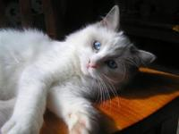 TopCats Cattery offers wonderful pets and companions.