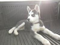 11 week old female Siberian Husky. 3 sets of shots,