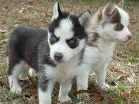 We have two amazing husky puppies, a male and a female.