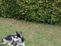 Luna our Husky is energised, healthy and balanced,
