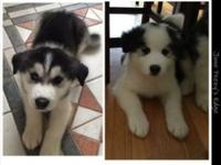 We have two gorgeous Husky Samoyed mix. We hate to let