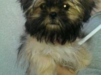 I have my 5 months old Chinese Imperial Shih Tzu for
