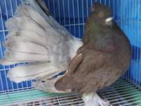 Indian Fantails-NPA banded, pied 25., rares 50. text or
