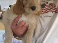 2 females and 2 males left. Irish doodle young puppies.