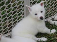 We have 3 beautiful Isabella White Siberian Husky