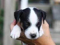 We have 3 gorgeous Jack Russell Terrier Puppies for