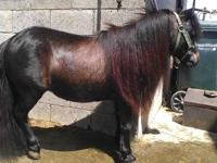 THIS BEAUTIFUL JET BLACK STUD MINI IS 4YRS HE IS