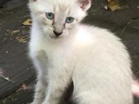 Beautiful kittens available, 10 weeks old, docile and