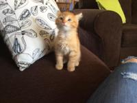 I have four kittens for sale. They are 8 weeks old and