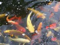 im selling beautiful koi fish,and butterfly koi