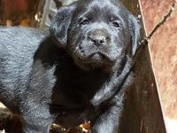 Beautiful Blocky English Labradors. Choc and Black will