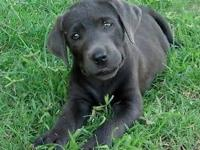Lab puppies, males& females, registered, all