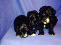 We have a beautiful litter of Labradoodles that we are