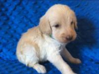We have a litter of gorgeous labradoodle puppies!! They