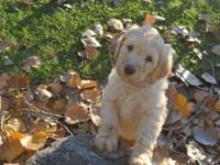 We have 5 stunning F1B labradoodle puppies left 4 cream