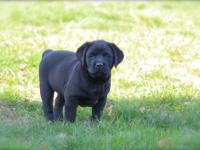 This is a beautiful litter of black and yellow Labrador