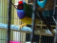 I have beautiful Lady Gouldian Finches, white zebra,