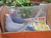I have beautiful Indian ringneck parakeets for sale