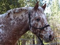 for sale, 9 yr old registered appy mare. very gentle,