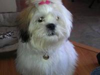 2 FEMALE LHASA/SHIHTZU MIX PUPS READY TO GO TO A LOVING