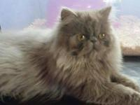 Extreme (flat) face solid lilac female Persian born
