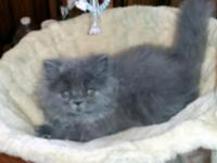 Beautiful lilac kitten. Male. Kittens come with *first