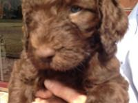 Beautiful litter of F1B Goldendoodle puppies. Born