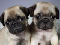 Animal Type: Dogs Breed: Pug Two still avalable .My