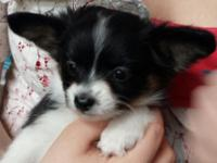 Our family members has a slightly Papillon X Chihuahua