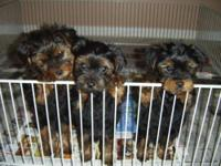 This beautiful Baby Yorkie Pure Terrier Male is very