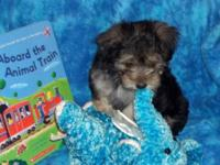 Little Sugar Bear is an adorable male Yorkie-Poo puppy.