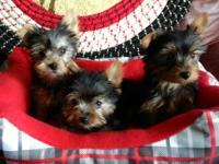 Beautiful little CKC registered, Yorkshire Terrier