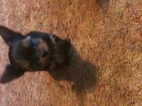 beautiful little yorkie puppy shes about two years old