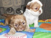 I have 4 beautiful little Shih Tzu puppies, 2 males and