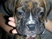 1 Male Boxer Baby left Oscar requires a for life home