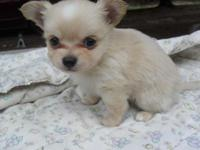 Beautiful Long coat Chihuahua Puppies born March 27 and