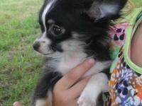 Adorable Long Hair Chihuahua Male Akc 14 weeks Small up