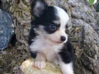 Beautiful Long Hair Female Chihuahua ...up to date on