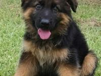 Beautiful Long hair German Shepherd Pups for SALE, out