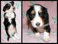 We have some Stunning dachshund puppies! These babies