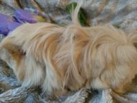 Beautiful Long Haired Baby Cavies available. Please