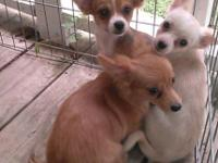 I have 2 beautiful little Chihuahua ladies for