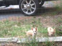 Lovely little long haired Chihuahua puppies, 1 female