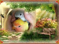 love bird babies available fully weaned and feathered