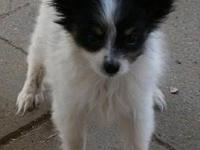 Beautiful Papillons for sale! Loving companions bred