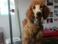 This beautiful Female Red Mahogany Standard Poodle was