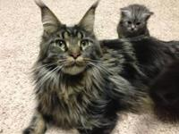 "Beautiful ""Main Coon"" kittens available mid April. The"